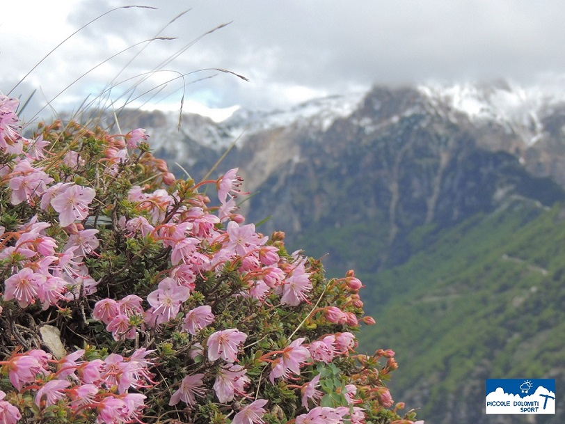 rododendro nano