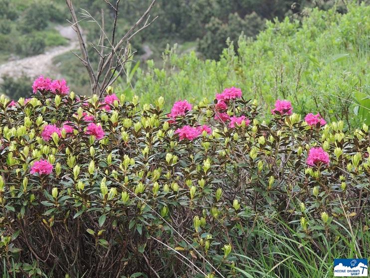 rododendro peloso